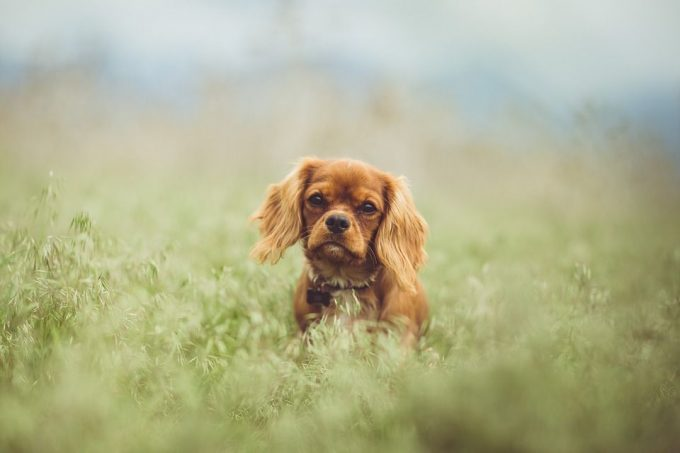 Little Cavalier King Charles Spaniel