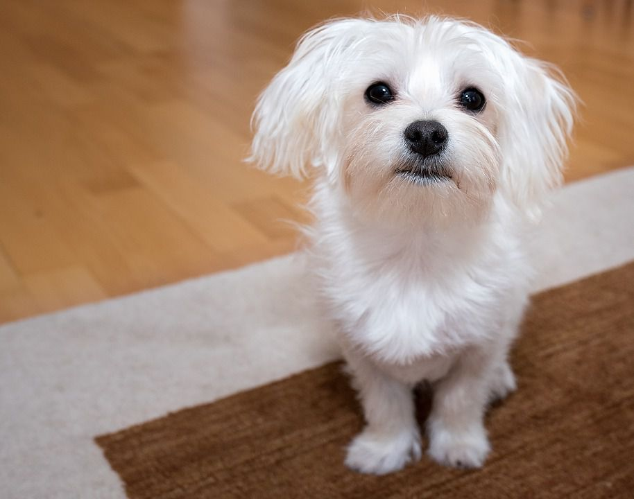 Maltese Small Dog For Apartment List
