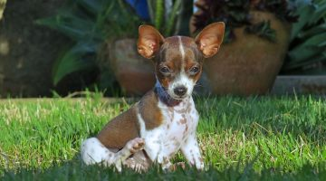 These 15 Small Dog Breeds are Perfect For Your Apartment Lifestyle
