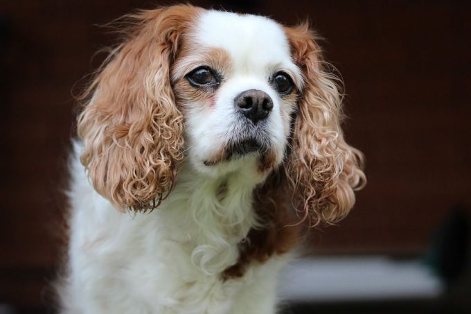 Cavalier King Charles Spaniel dog for kids