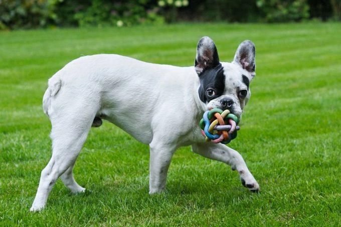 cute French Bulldog is one of the best dogs for family