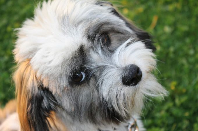 Havanese color white