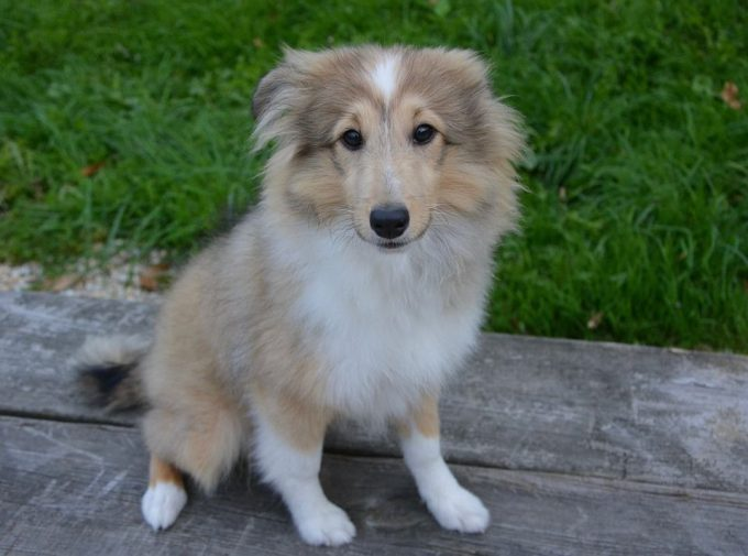 Adorable Shetland Sheepdog for kids
