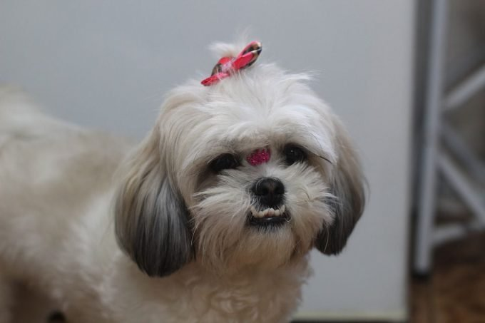 Shih Tzu with ribbon