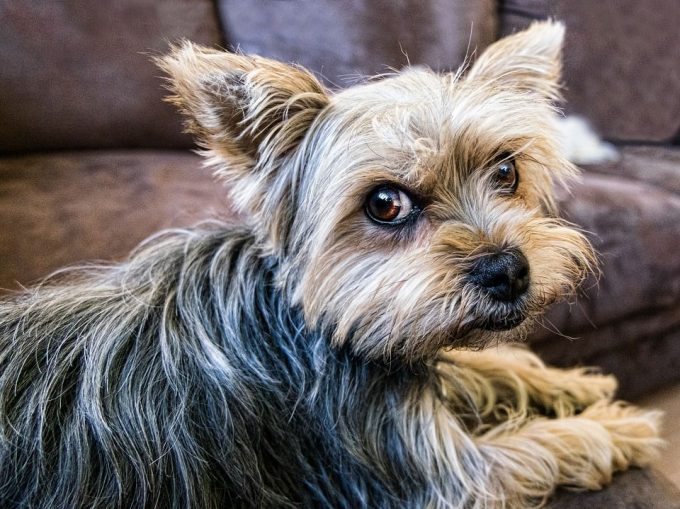 Yorkshire Terrier good dog for kids and apartment