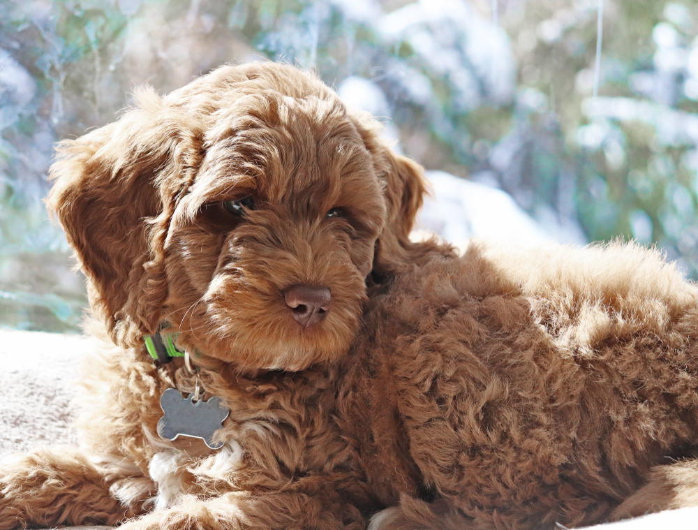 Labradoodle The Adorable Mix Of Labrador And Poodle Guide