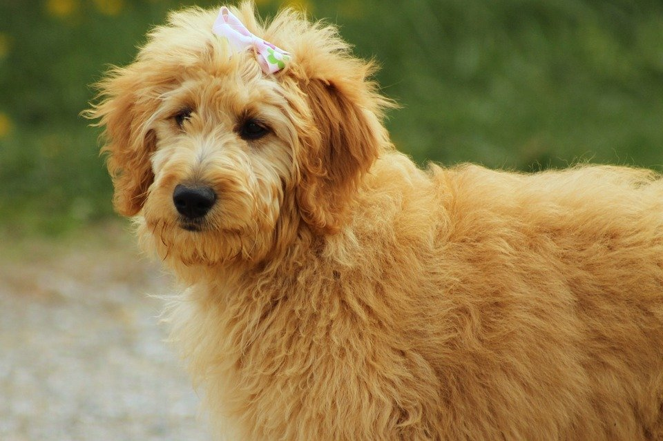 10 Interesting Facts About Goldendoodle Golden Retriever Poodle Mix