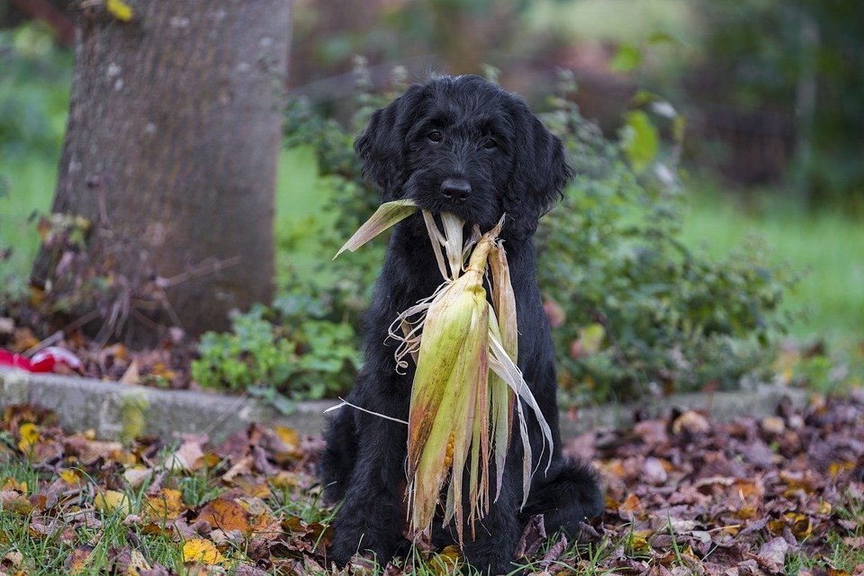 Black Labradoodle Playing with corn