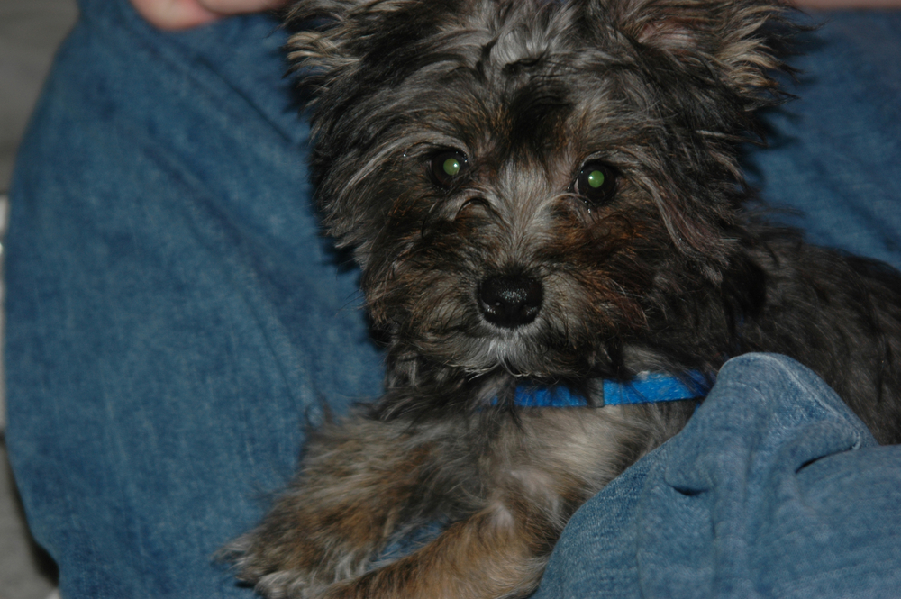 Black Yorki Poo Mix
