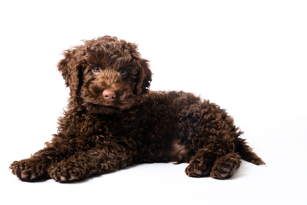 Brown Cute Labradoodle Puppy
