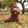 Labradoodle Dogs 101 – A Complete Guide About Mini Labradoodle