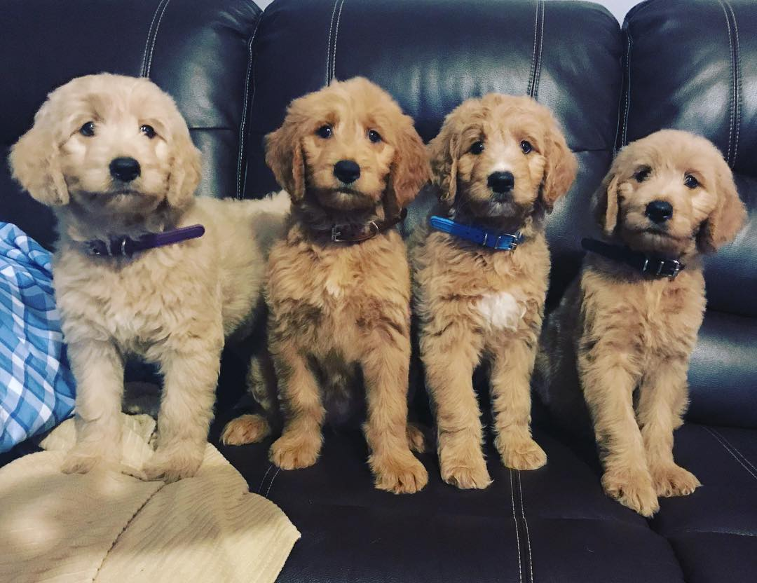 Goldendoodle - 10 Amazing Facts About Designer Dog Breed