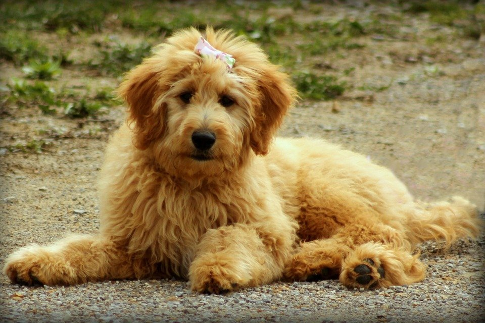 Golden retriever pudel mix