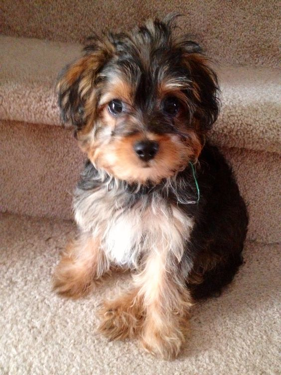 Cute Yorkipoo Puppy