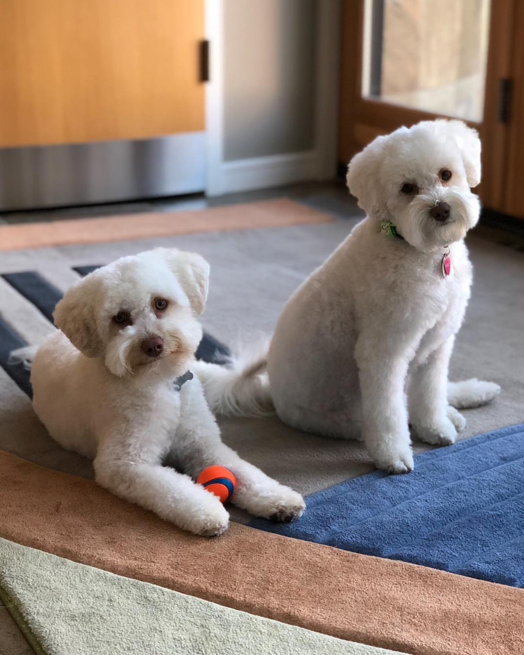 Famous White Schnoodle dogs in Instagram