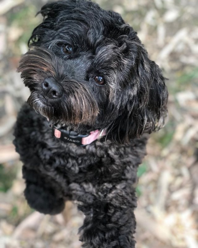 black schauzer poodle mix