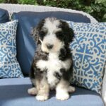 Bernedoodle dog Puppy Sitting on the chair