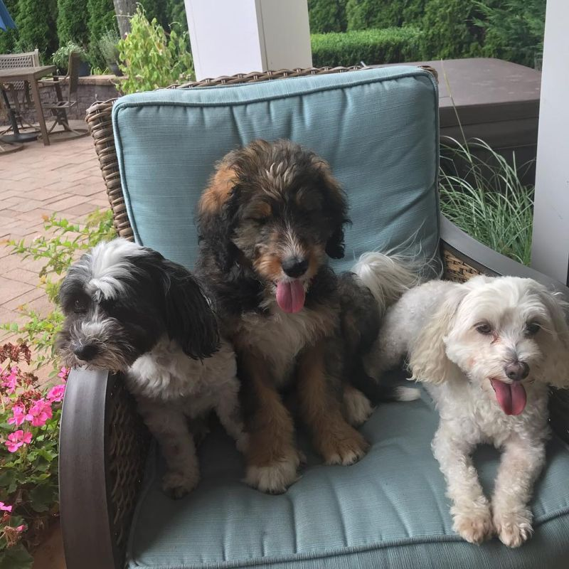 Bernese Mountain Poodle Mix Dogs Sitting on the chair