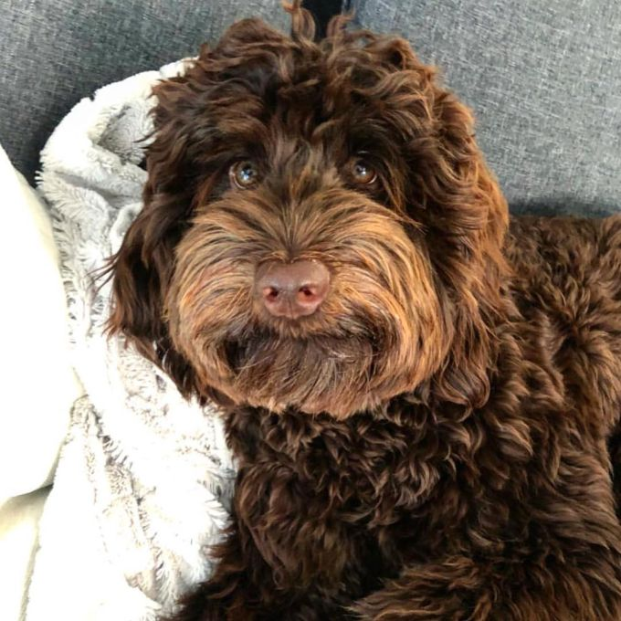 Poochon Dogs The 10 Important Question About Poodle