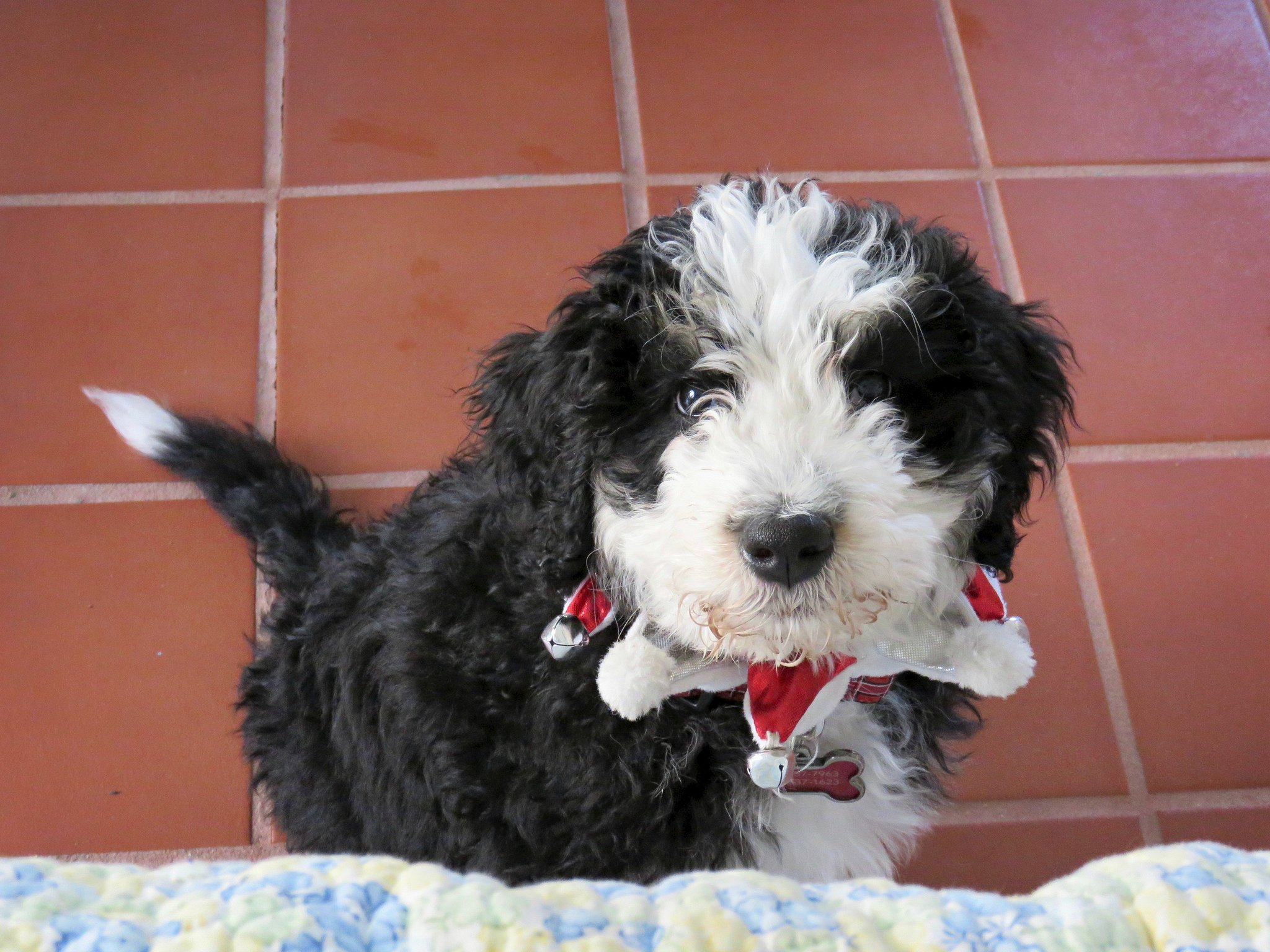 The Popular mini bernedoodle Georgie
