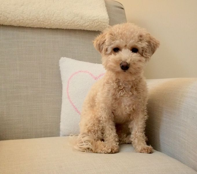 Poochon with pillow