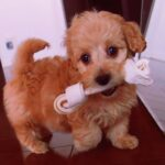 doxiepoo Puppy Playing