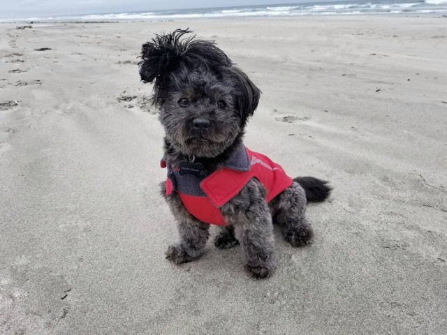 black lhasapoo dog picture