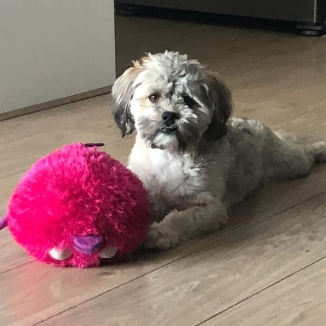 full grown lhasapoo