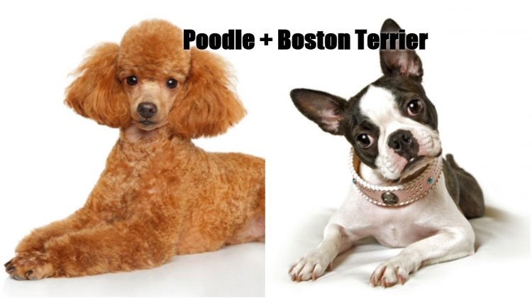 Bossi-Poo – Your Complete Guide to Become a Happy Owner of Boston Terrier and Poodle Mix