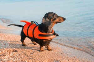 dachshund dog wants to swimming