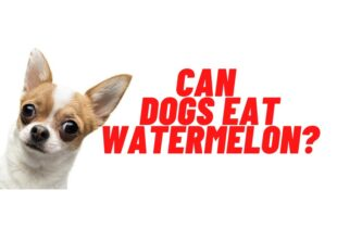 can dogs eat watermelon guide