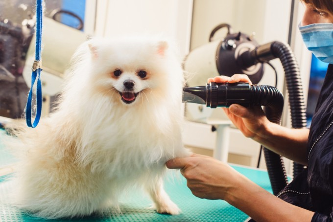 Pomeranian Dog Grooming Session