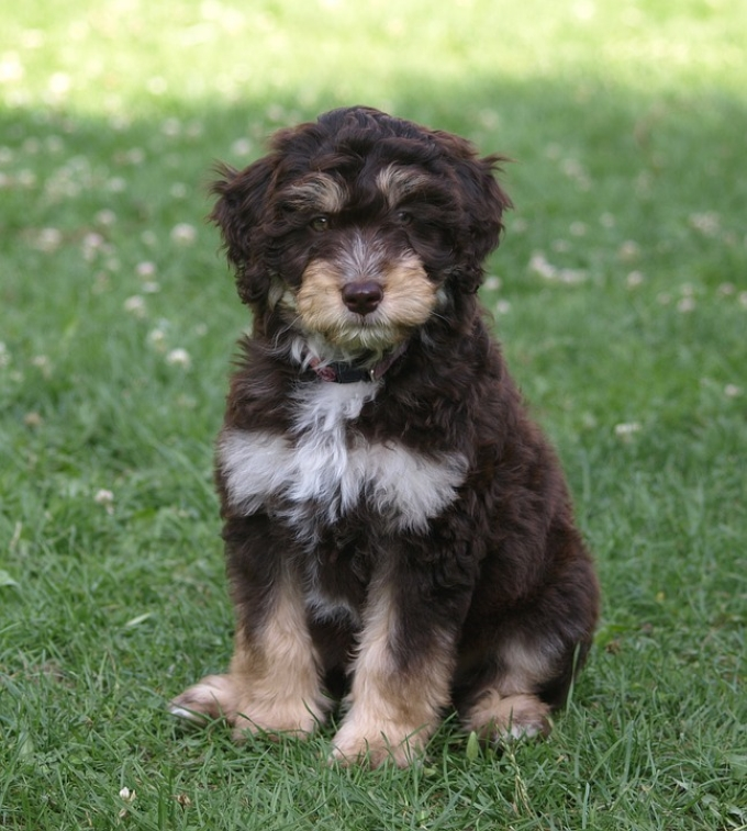Australian Poodle Mix Puppy