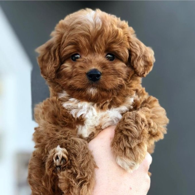 brown Bernedoodle puppy