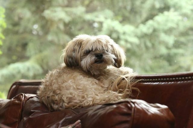 Yorkshire Terrier Shih Tzu Mix