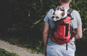 French Bulldog Inside a Dog Carrier Backpack