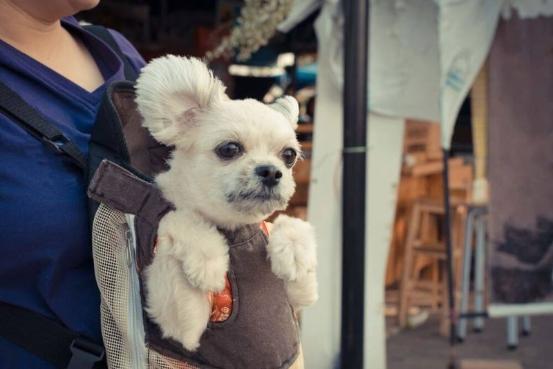 White Dog inside a pet carrier sling