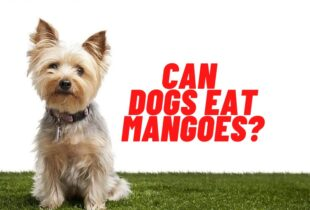 can dogs eat mangoes guide