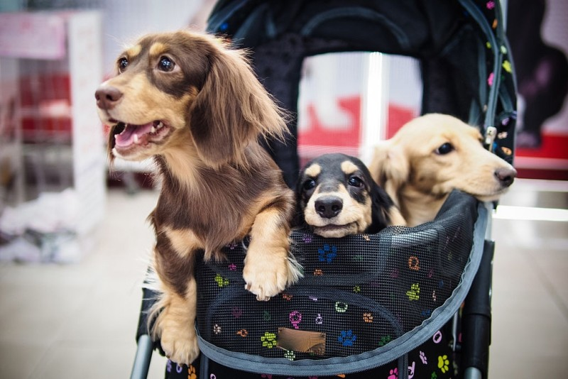 cute dog strollers with 3 dogs