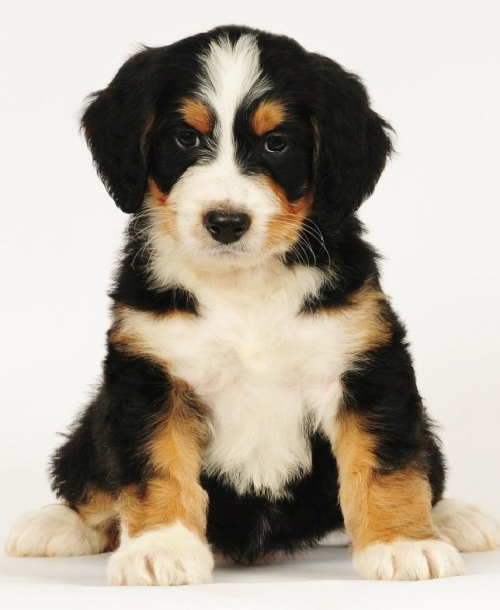 Tri Colored Bernedoodle Puppy