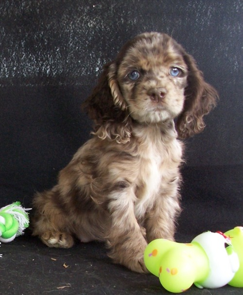 chihuahua poodle mix with blue eyes